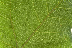 Macro fig leaf Royalty Free Stock Image