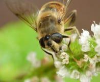 Macro fin de l'abeille sur une fleur rassemblant la photo de pollen rentrée le R-U images libres de droits