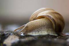 Macro fin de photo d'escargot  Photos stock