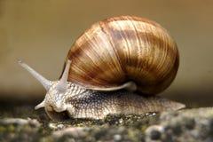 Macro fin de photo d'escargot  Photographie stock libre de droits