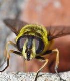 Macro fine su dell'ape, foto contenuta il Regno Unito fotografia stock libera da diritti