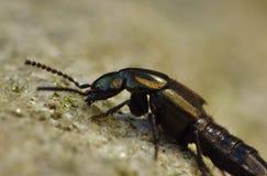 Macro fine su dello scarabeo nel giardino, foto del cavallo di vettura di un diavolo contenuta il Regno Unito fotografie stock libere da diritti