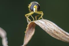 Macro fine su sparata di un insetto del tipo di ape giallo che riposa su una foglia dell'erba asciutta ed isolata fotografie stock
