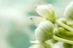 Macro fiore del milkweed di calotropis Immagine Stock Libera da Diritti