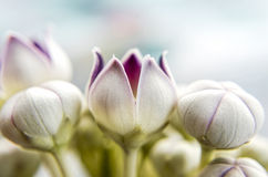 Macro fiore del milkweed di calotropis Immagine Stock
