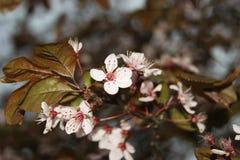 Macro fiore di ciliegia Fotografia Stock Libera da Diritti