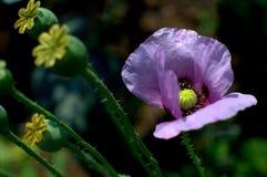 Macro fiore porpora del papavero Immagine Stock