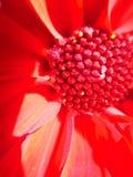 Macro fiore rosso della dalia Fotografie Stock