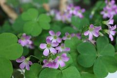 Macro fiori con i colori rosa e bianchi immagini stock