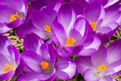 Macro of first spring flowers in garden crocus Royalty Free Stock Photo