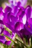 Macro of first spring flowers in garden crocus Stock Photos