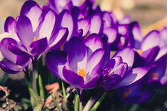 Macro of first spring flowers in garden crocus retro Stock Photos