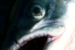 Macro fish. Close-up of a freshly caught fish (salmon Royalty Free Stock Images