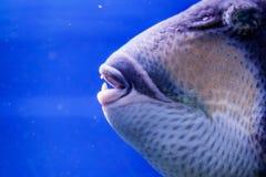 Macro fish blue-necked balistod, balistoides viridescens. Close up stock images