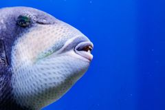 Macro fish blue-necked balistod, balistoides viridescens. Close up royalty free stock image