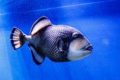 Macro fish blue-necked balistod, balistoides viridescens. Close up stock photography