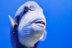 Macro fish blue-necked balistod, balistoides viridescens. Close up royalty free stock photography
