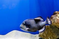 Macro fish blue-necked balistod, balistoides viridescens. Close up royalty free stock photo
