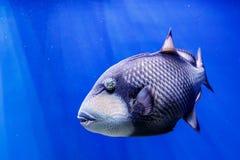 Macro fish blue-necked balistod, balistoides viridescens. Close up royalty free stock images