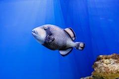 Macro fish blue-necked balistod, balistoides viridescens. Close up royalty free stock photos