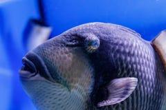 Macro fish blue-necked balistod, balistoides viridescens. Close up stock photos