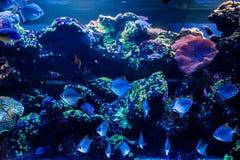 Macro fish neopomacentrus filamentosus Monodactylidae stock photography