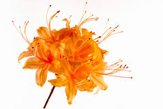 Macro of flame azalea in bloom, on white background. Stock Images