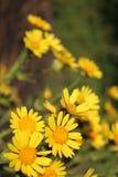Macro fleur de champ jaune en mode hauteur image libre de droits