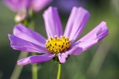macro fleur de cosmos photos libres de droits