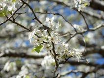Macro fleur de poire Photo libre de droits