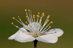 Macro fleur de prunellier Image libre de droits