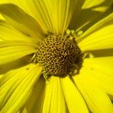 Macro fleur jaune Image stock