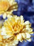 MACRO : Fleur jaune Photographie stock libre de droits