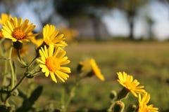 Macro fleur jaune de champ avec le fond brouillé image libre de droits