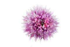 Macro fleur pourprée sur le blanc Image stock
