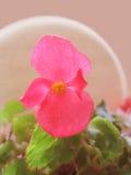 Macro fleur rose Photographie stock libre de droits