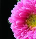 Macro fleur rose Image stock