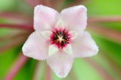 Macro fleur rose de centrale de cire photographie stock libre de droits