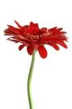 Macro fleur rouge Photos libres de droits