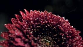 Macro fleur rouge foncé d'automne avec des baisses brillantes de l'eau banque de vidéos