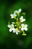 Macro fleurs blanches Images stock
