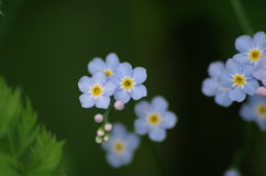 Macro fleurs bleues avec le centre et les bourgeons jaunes et blancs Images libres de droits