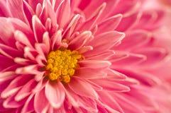 Macro fleurs de chrysanthème Photos stock