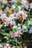 Macro fleurs de pousse de la poire de floraison, DA ensoleillé Images libres de droits