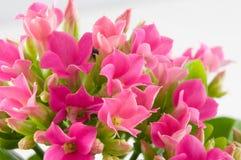 Macro fleurs de source. Photos libres de droits