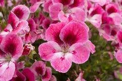 Macro fleurs pourprées Photos libres de droits