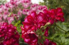 Macro fleurs pourprées Photographie stock