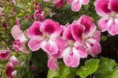 Macro fleurs pourprées Photo libre de droits