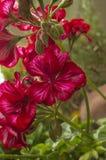 Macro fleurs pourprées Photographie stock libre de droits