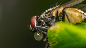 Macro of flies or fly insect stock images